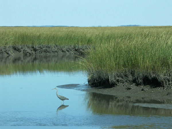 Assateague Island Heron Ocean CIty MD