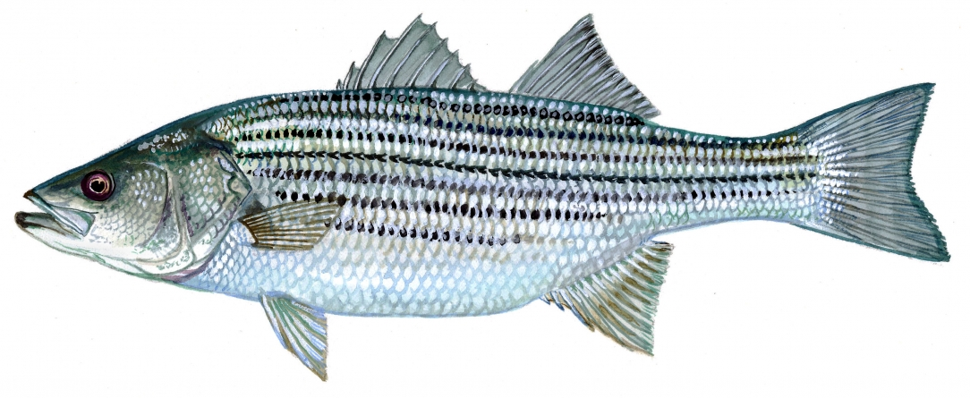Striped bass continue to be species of contention for fishermen