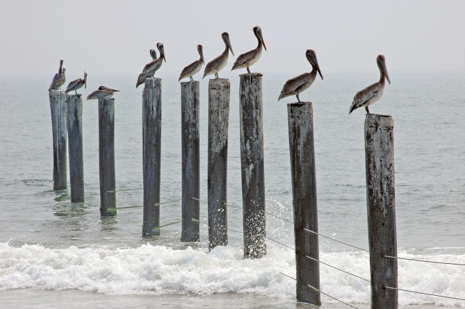 Pelican numbers down in Md.; change no cause for concern