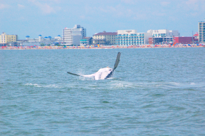 Humpback Whale Sightings Continue in Ocean City