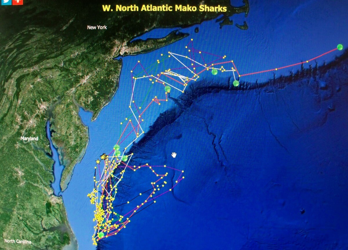 Eight shortfin makos tagged off Ocean City - OceanCity.com