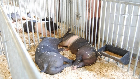 Great Pocomoke Fair offers 'taste of the rural life'