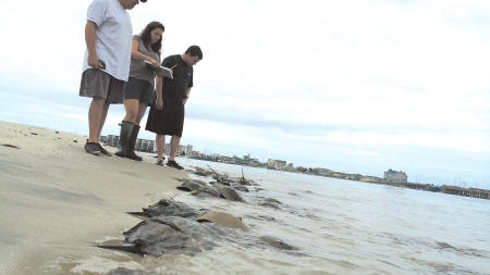 Creature Feature: What's the deal with horseshoe crabs?