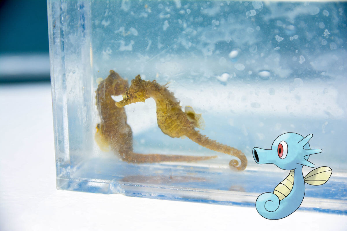 Lined Seahorse with the Pokémon Horsea
