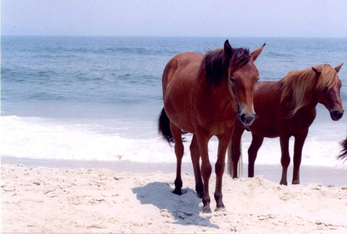 The Assateague Horses first arrived on a Spanish Galleon