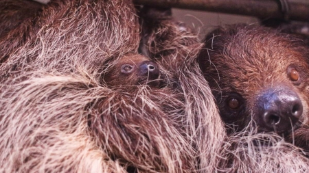 Creature Feature: A baby sloth for Salisbury