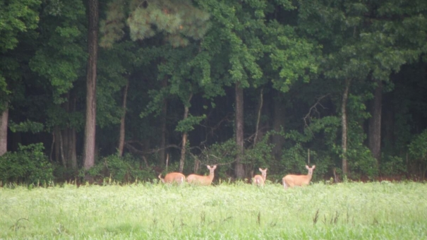 Deer cost local farmers dear-ly