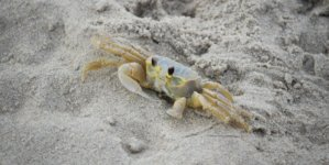 Creature Feature: The Secret Life of the Atlantic Ghost Crab