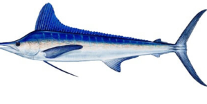 Is that White Marlin really a White Marlin?