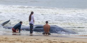 Whale Stranded in Ocean City: National Aquarium Answers Questions