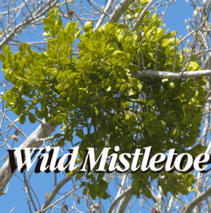 Creature Feature: Mistletoe – What You Didn't Know