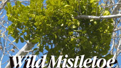 Creature Feature – Greenery Edition: Mistletoe – What You Didn't Know