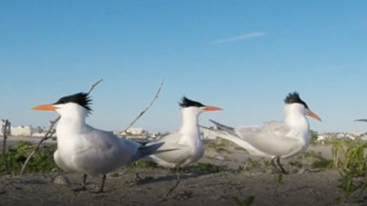 Creature Feature: Royal Tern