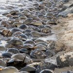 Horseshoe crabs on Homer Gudelsky Park beach