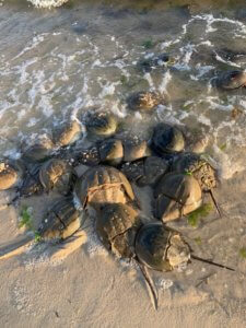 Spawning horseshoe crabs on Sunset Island in Ocean City