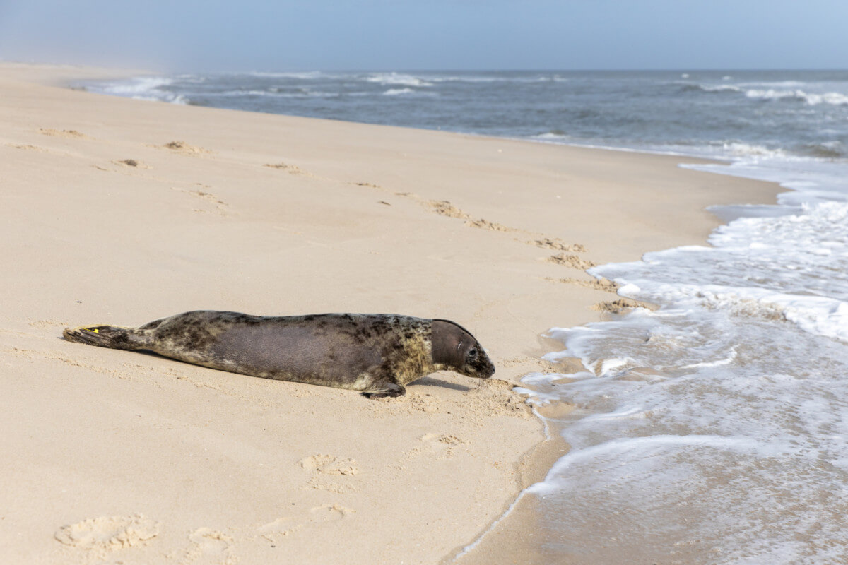 Pippi the grey seal returns to the Atlantic
