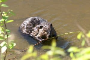 Beaver chewing stick, by Christian Grenier